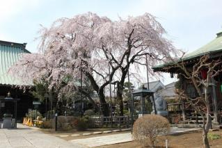 円乗院 千代桜