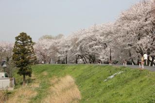鴨川堤桜通り公園