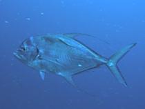 タオ島 ダイビング 魚 イトヒキアジ