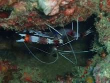タオ島 ダイビング オトヒメエビ