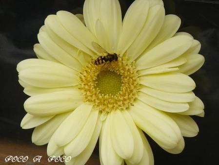 ガーベラと蜂