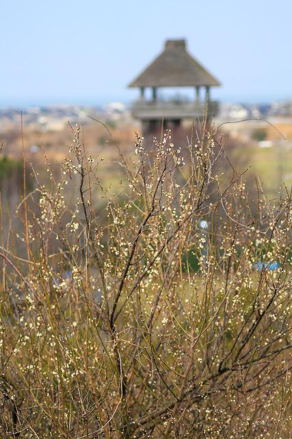 米子市 淀江町 伯耆古代の丘公園 梅