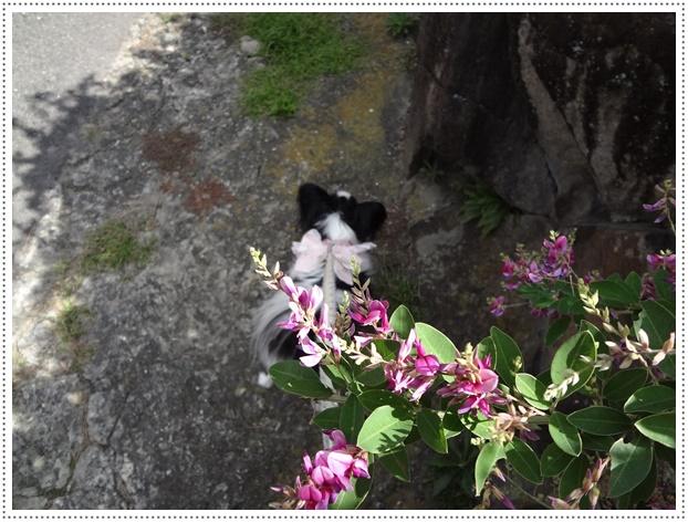 萩咲く道をお散歩1