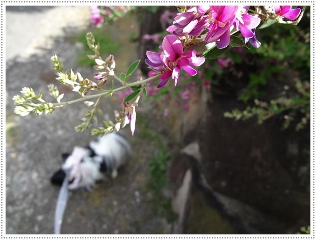 萩咲く道をお散歩2