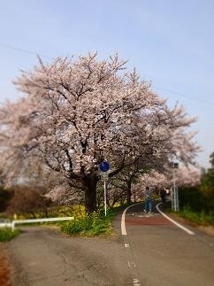 さくら2013-03