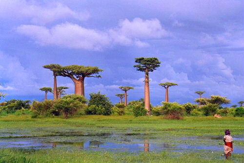 baobabu01