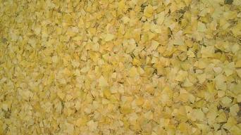 黄金(笑)の絨毯