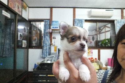 2011_0926チワワ1