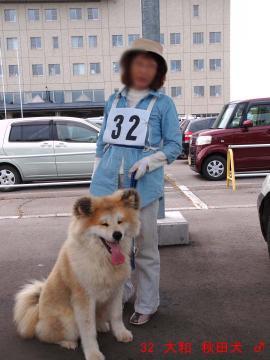 32 大和 秋田犬 ♂