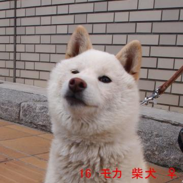 16 モカ 柴犬 ♀