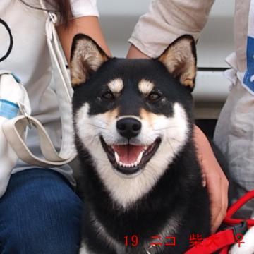 19 ニコ 柴犬 ♀