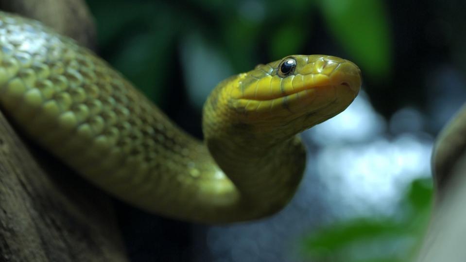 クスシヘビ