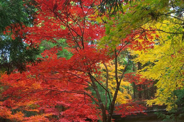 小國神社の紅葉 1