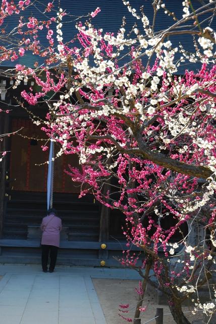 京都北野天満宮梅苑
