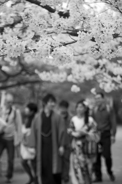 平安神宮神苑 桜