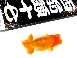 品評会 参加魚