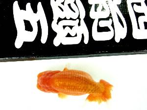 友人Sの 品評会魚