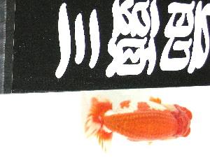 友人Mの 品評会魚