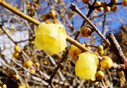 ロウバイの咲く洞慶院へ-5