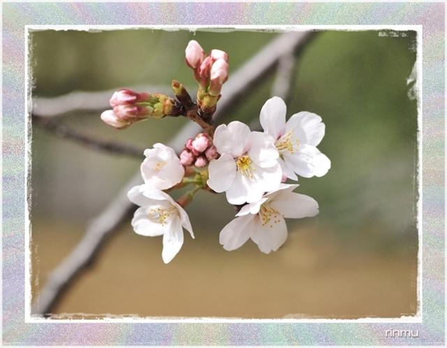 ○61太い拡散ネーム桜11