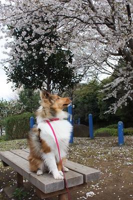 桜とルナ3
