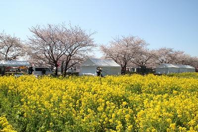 12sakura1.jpg