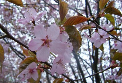 Sakuramatsuri6 klein