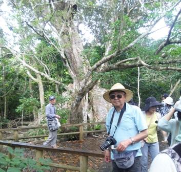仲間川:サキシマスオウの木