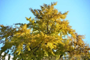 Autumn Ginkgo Tree
