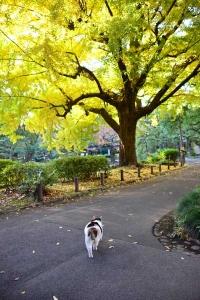 Sakura-chan The Cat and Autumn Ginkgo Tree