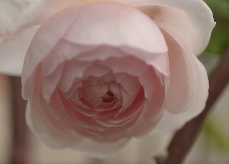 20141124-rose1.jpg