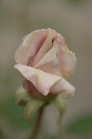 20141124-rose2.jpg