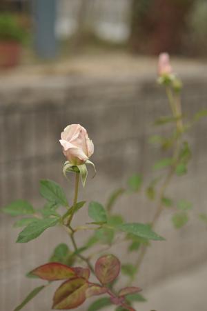 20141124-rose3.jpg