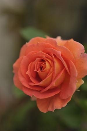 20141124-rose4.jpg