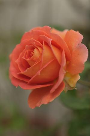 20141124-rose4a.jpg