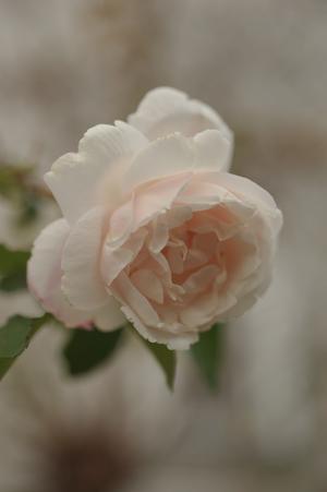 20141124-rose5.jpg