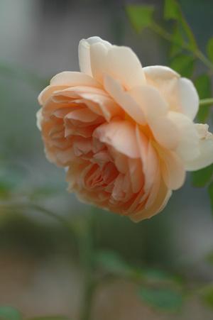 ambridgerose20111025-1.jpg