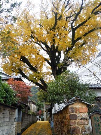 泉山大公孫樹1(2013-11-25)