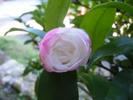 山茶花4(2013-12-07).