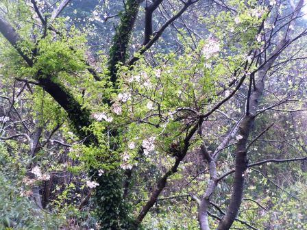 桜2(2015-04-05)