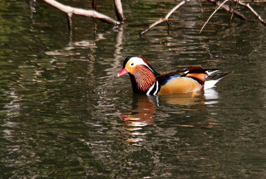 オシドリ2014-2-5-3-45千里中央公園IMG_1040