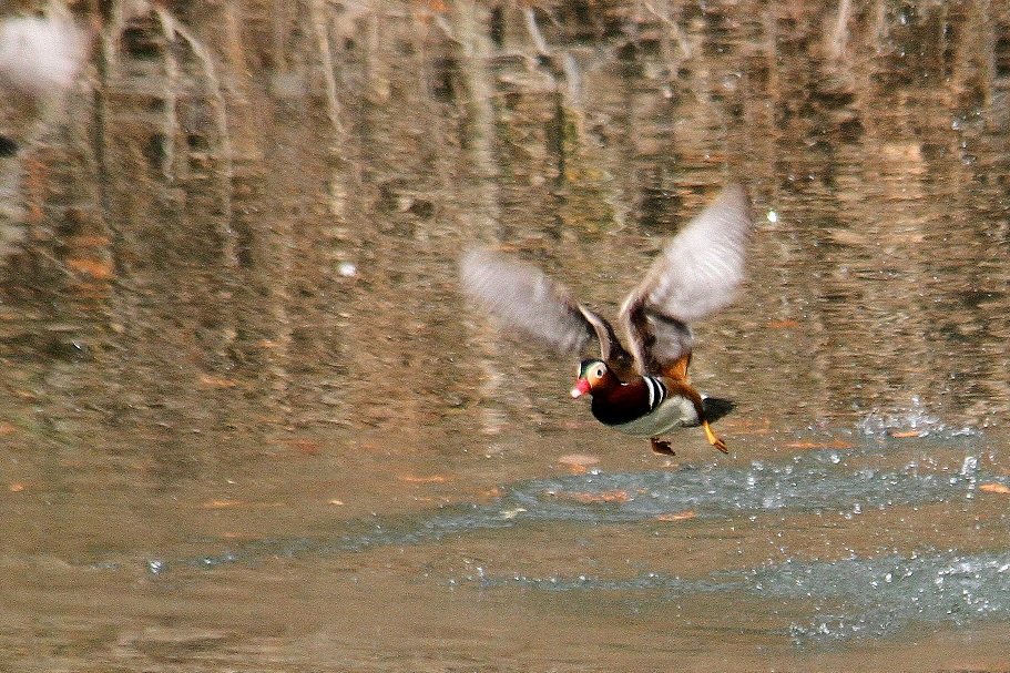 オシドリ2014-2-5-8-50千里中央公園IMG_1051
