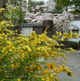2012.04.22 桜山吹