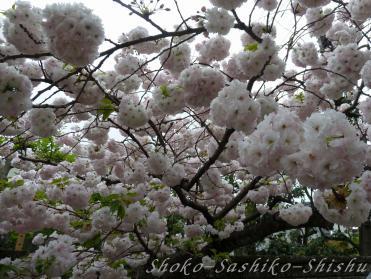 2012.04.22  八重桜