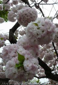 2012.04.22  毬 桜