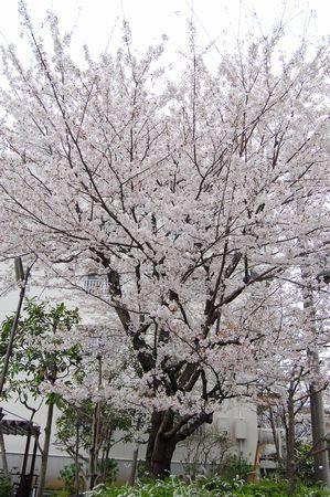 20120411sakura2.jpg