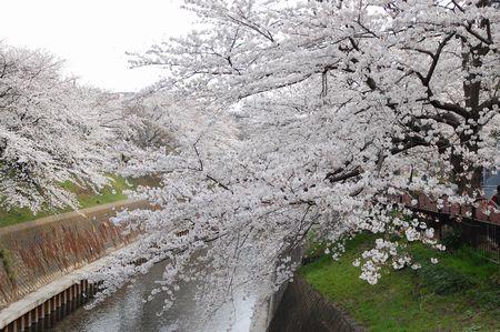 20130325sakura4.jpg