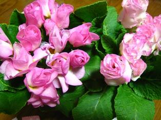 八重咲きジュリアン ブライダルベル