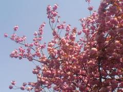 八重桜SN3V06640001.jpg