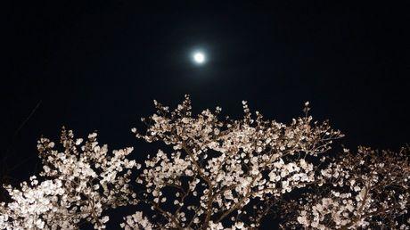 月と桜③mini